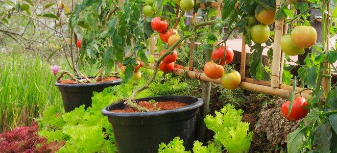 potager avec des tomates dans des conteneurs