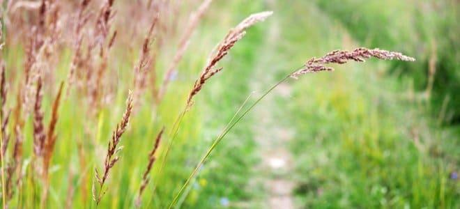 Grande herbe rouge devant le chemin usé