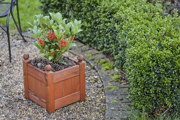 Skimmia japonica 'Tansley Gem' poussant dans un pot